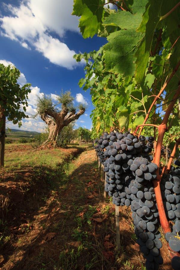 葡萄园风景在与橄榄树的秋天 免版税库存照片
