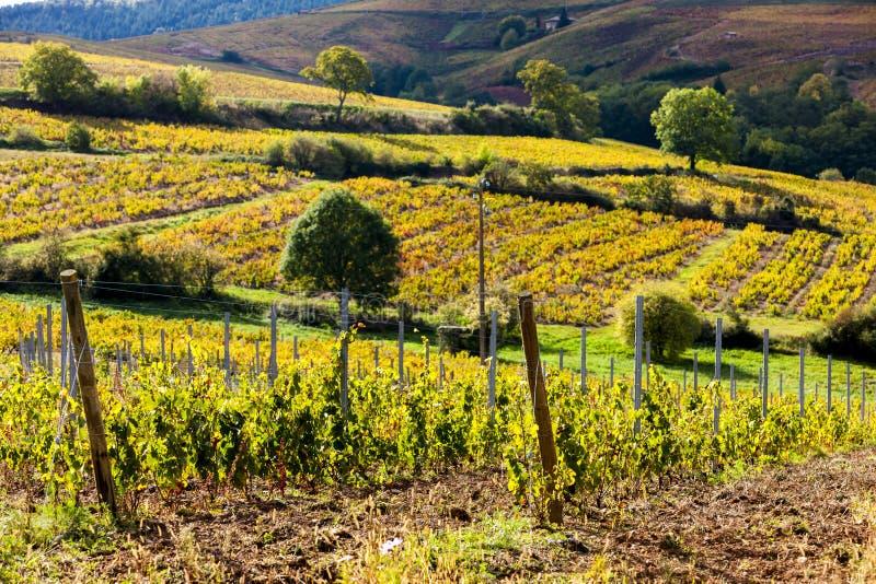葡萄园,博若莱红葡萄酒,罗讷Alpes,法国 免版税库存照片