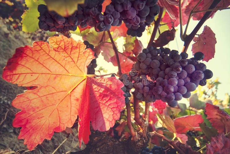 葡萄园,收割期,葡萄酒酿造 免版税库存图片