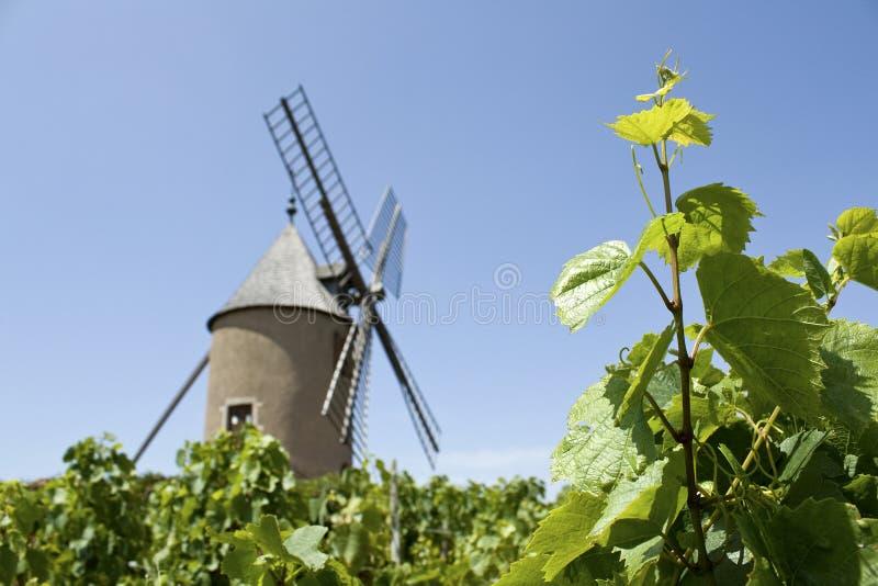 葡萄园,有从博若莱红葡萄酒的风车的。 库存照片