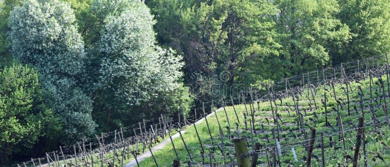 葡萄园Lohrberg,法兰克福/主要,德国 免版税库存照片
