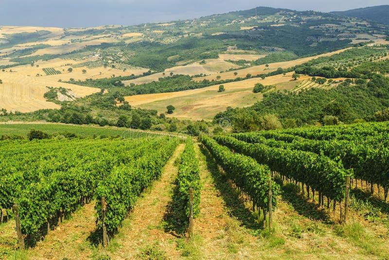 葡萄园Montalcino (托斯卡纳) 免版税图库摄影
