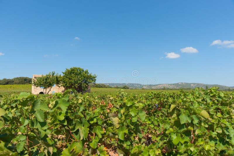 葡萄园os南法国,在科尔内扬附近 免版税库存照片