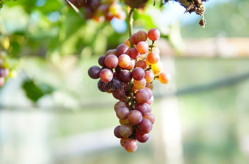 葡萄在南洛坤,泰国 图库摄影