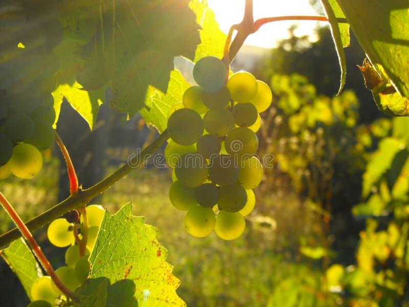 葡萄在秋天阳光下 免版税库存照片