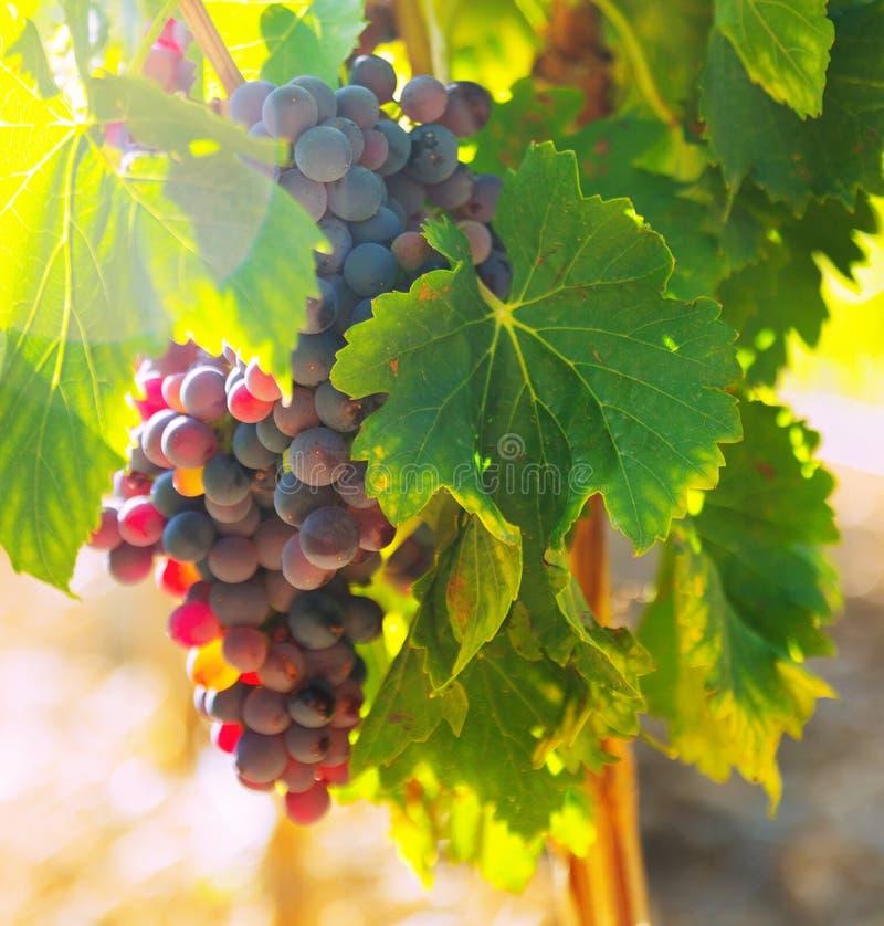 葡萄在葡萄园植物的 免版税库存照片