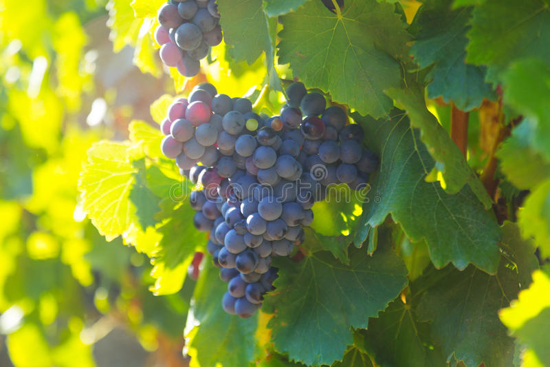葡萄在葡萄园植物的 库存照片