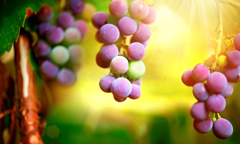 葡萄在葡萄树的 库存照片