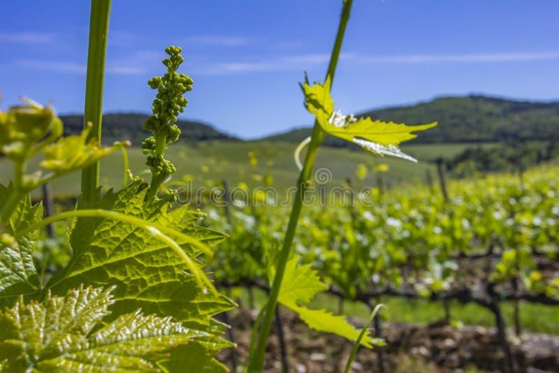 葡萄年轻叶子在阳光下在日落 葡萄年轻开花在藤特写镜头的 与年轻叶子的葡萄树和 图库摄影