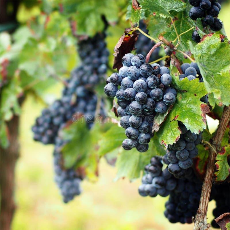 葡萄收获在意大利 免版税图库摄影
