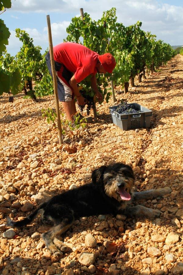 葡萄收获季节和牧羊犬在乡下领域在马略卡 库存图片
