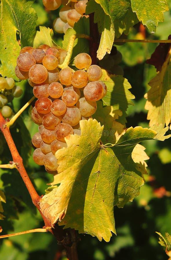 葡萄收获鲜美酒 库存图片