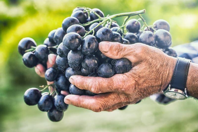 葡萄收获 黑人或蓝色束葡萄在手中老资深农夫 库存照片
