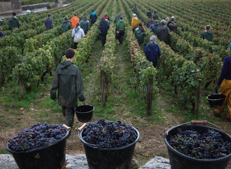 葡萄收获 免版税图库摄影