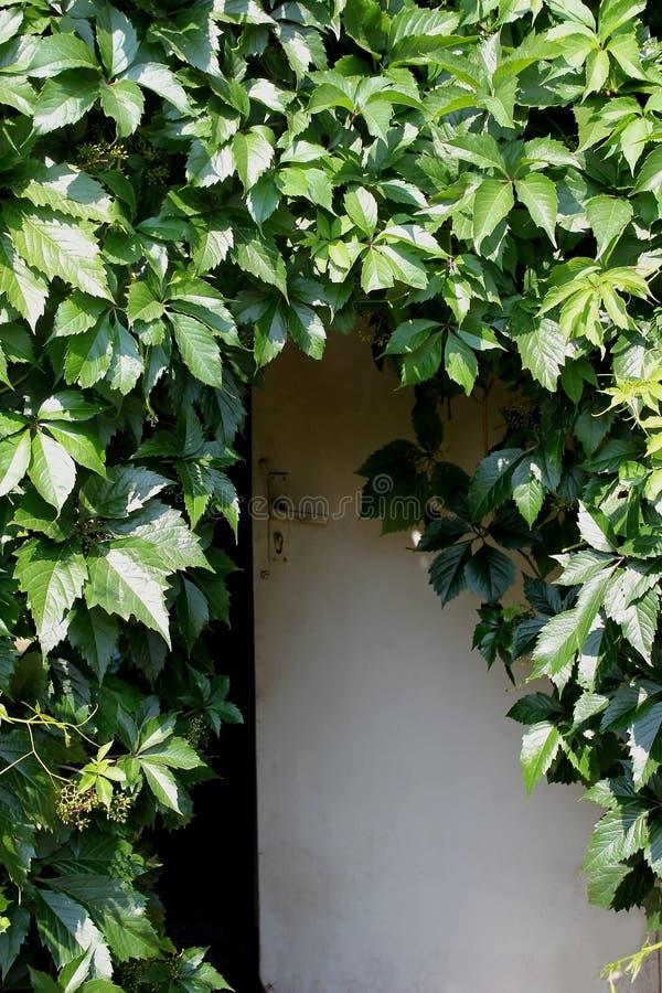 葡萄木门和叶子  免版税库存照片