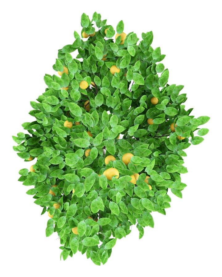 葡萄柚用在白色隔绝的葡萄柚 顶视图 向量例证