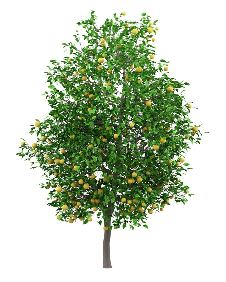 葡萄柚用在白色隔绝的葡萄柚 库存例证