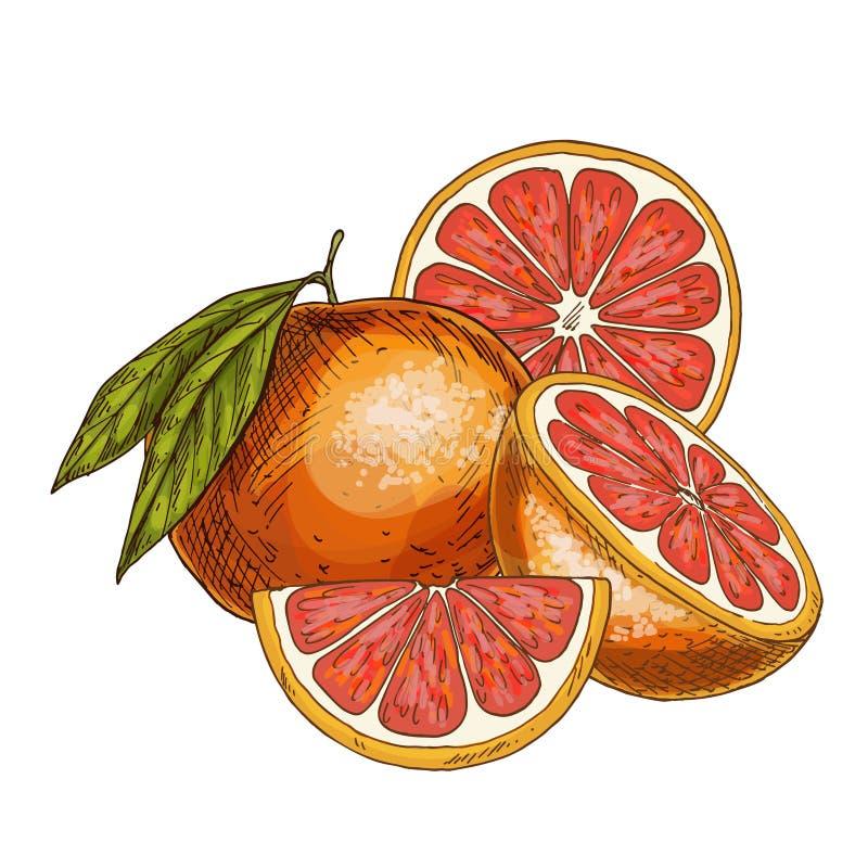 葡萄柚,一半果子,切片 皇族释放例证