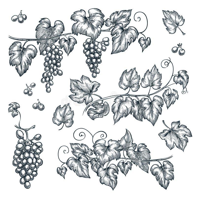 葡萄树剪影传染媒介例证 手拉的被隔绝的设计元素 向量例证