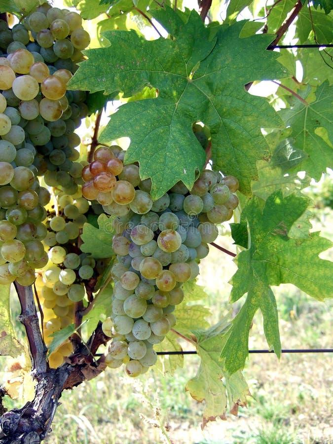 葡萄树品种kreaca葡萄和叶子  免版税库存照片