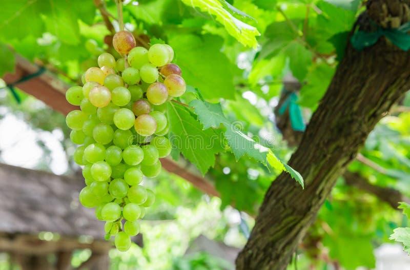 葡萄树在庭院里;选择聚焦有迷离背景 库存图片