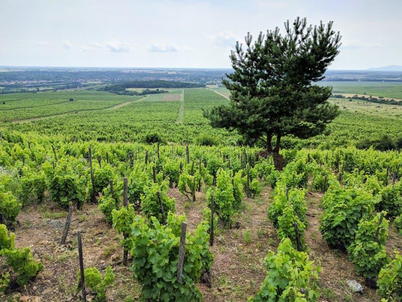 葡萄树在托考伊在Sarospatak,匈牙利附近的酒区域 库存照片