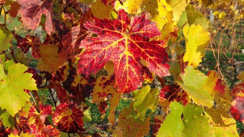 葡萄树在秋天 免版税库存图片