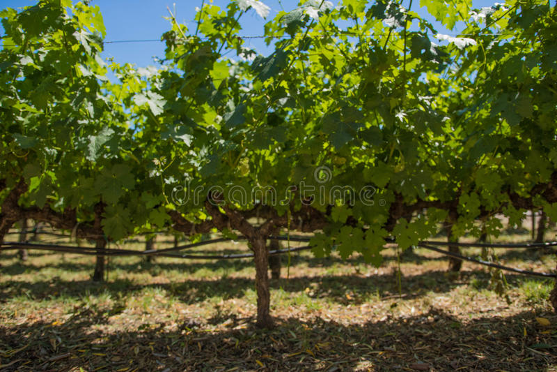 葡萄树在纳帕谷加利福尼亚 库存图片