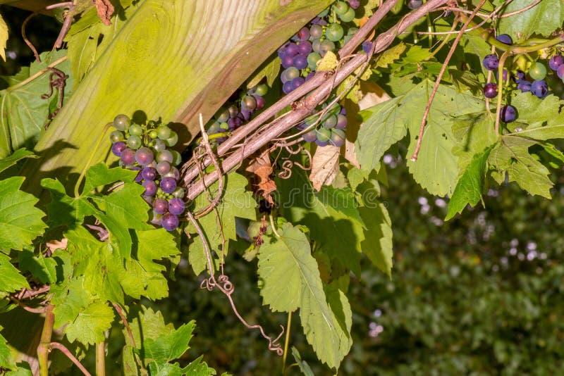 葡萄树在英国庭院里 库存照片