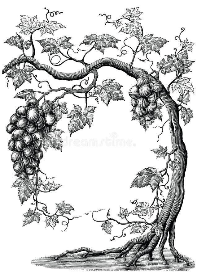 葡萄树手图画葡萄酒在白色的板刻例证 皇族释放例证