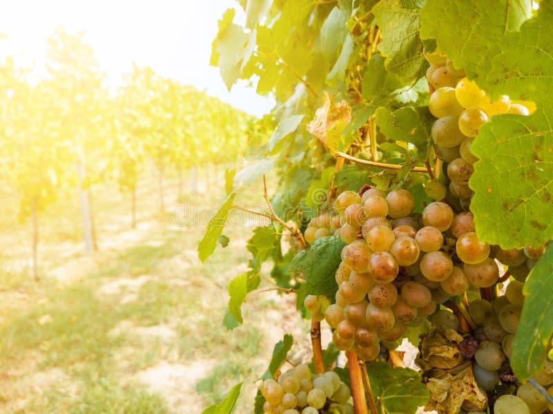 葡萄树植物和成熟葡萄在葡萄园里 库存照片