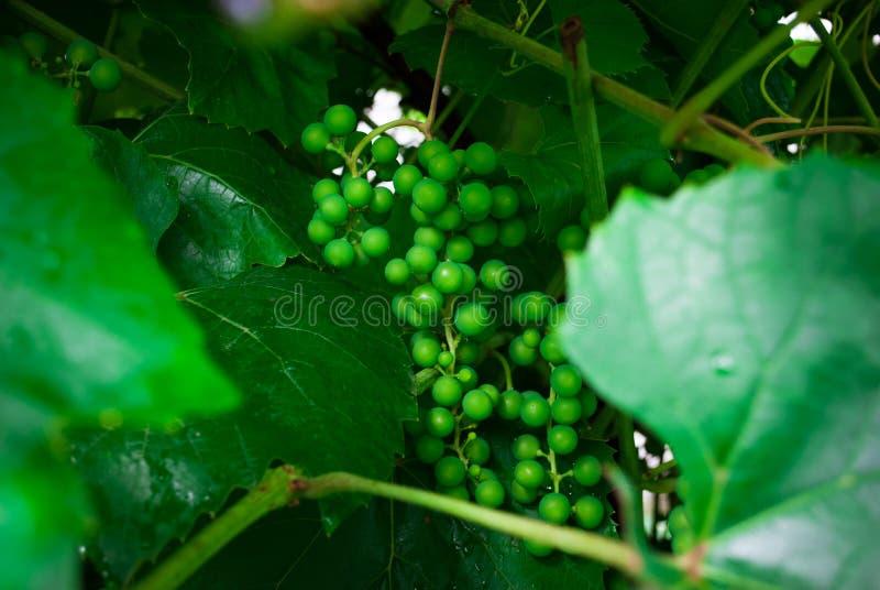 葡萄树用婴孩葡萄-藤用小葡萄莓果 Youn 免版税图库摄影