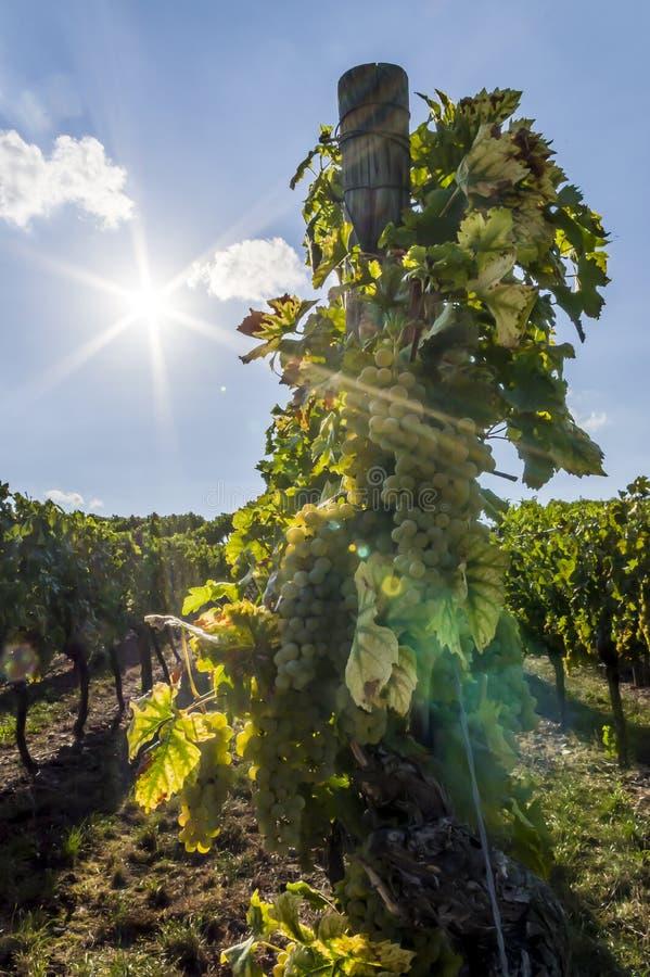 葡萄树用明亮的葡萄和莓果在背后照明与太阳星、天空蔚蓝和小云彩 免版税库存照片