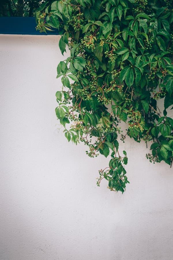 葡萄树用绿色葡萄 免版税库存照片
