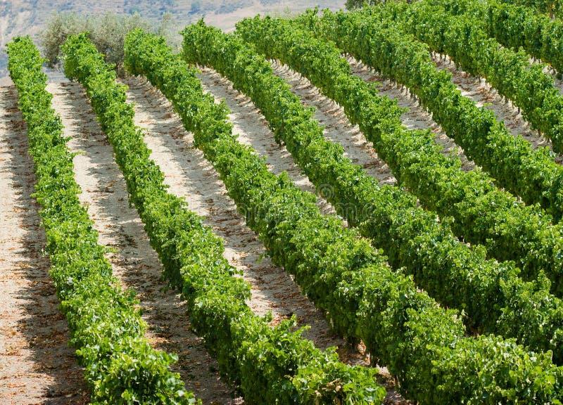 葡萄树种植行 免版税库存照片