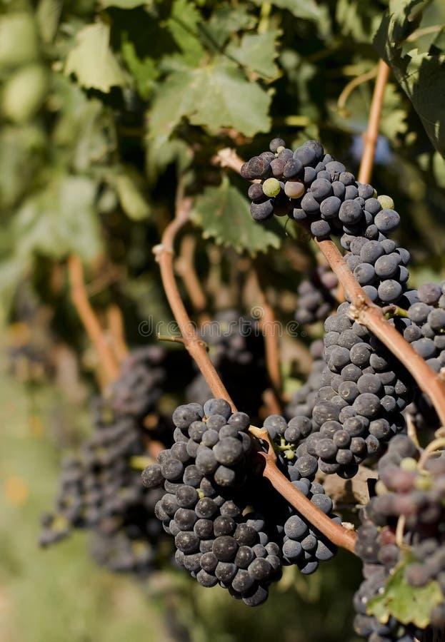 葡萄树红色葡萄园酒 库存照片