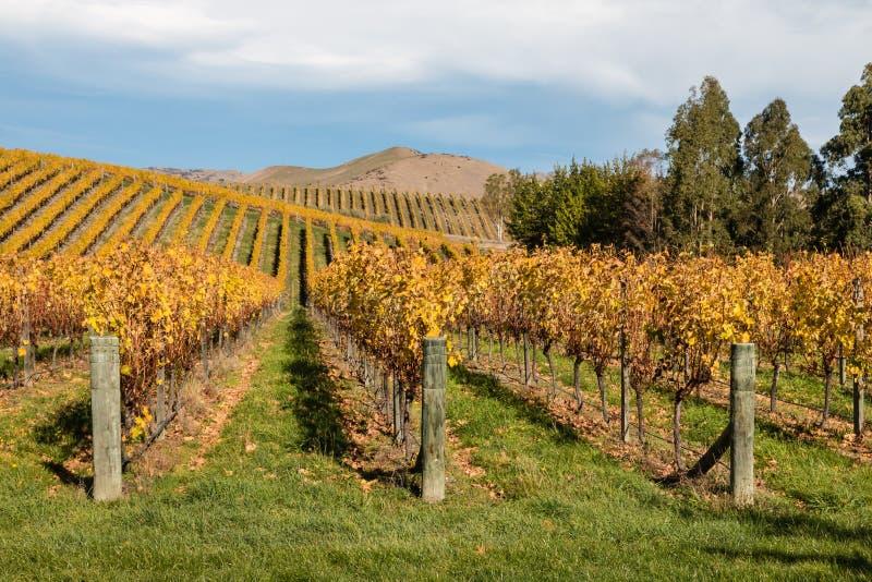葡萄树行在秋天葡萄园里 免版税图库摄影