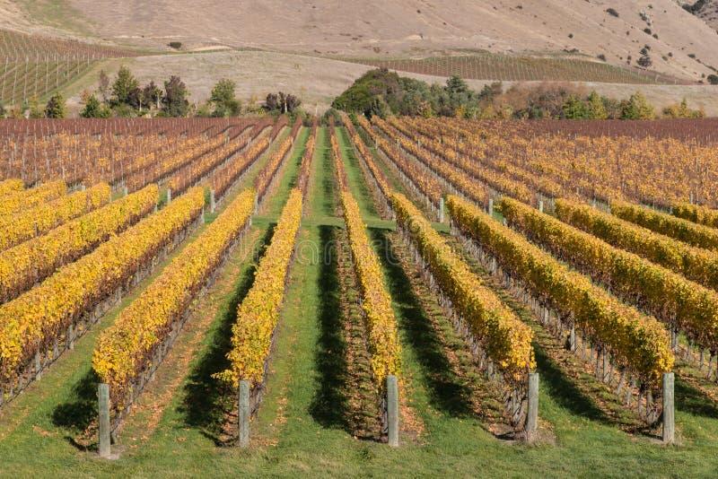 葡萄树行在秋天葡萄园里 库存照片