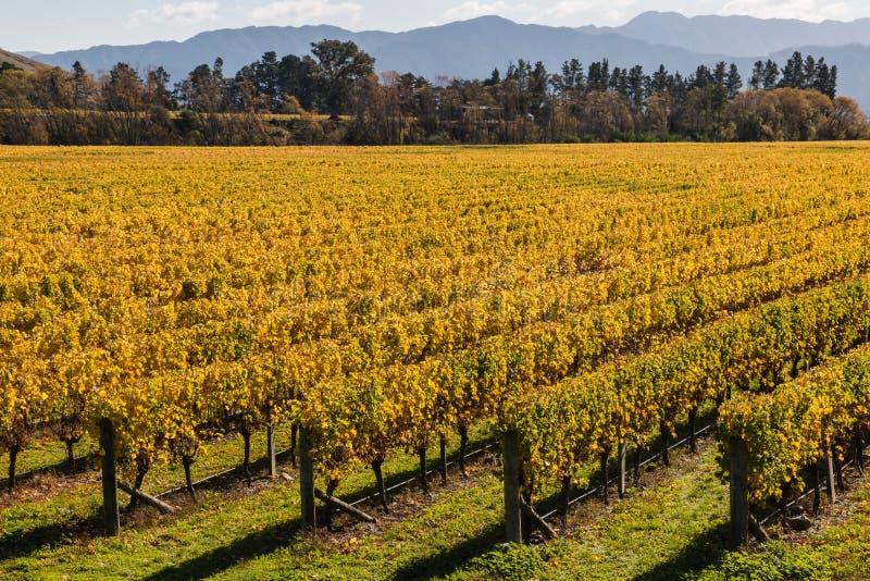 葡萄树行在秋天 免版税图库摄影