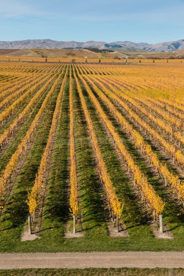 葡萄树行在秋天 免版税库存图片