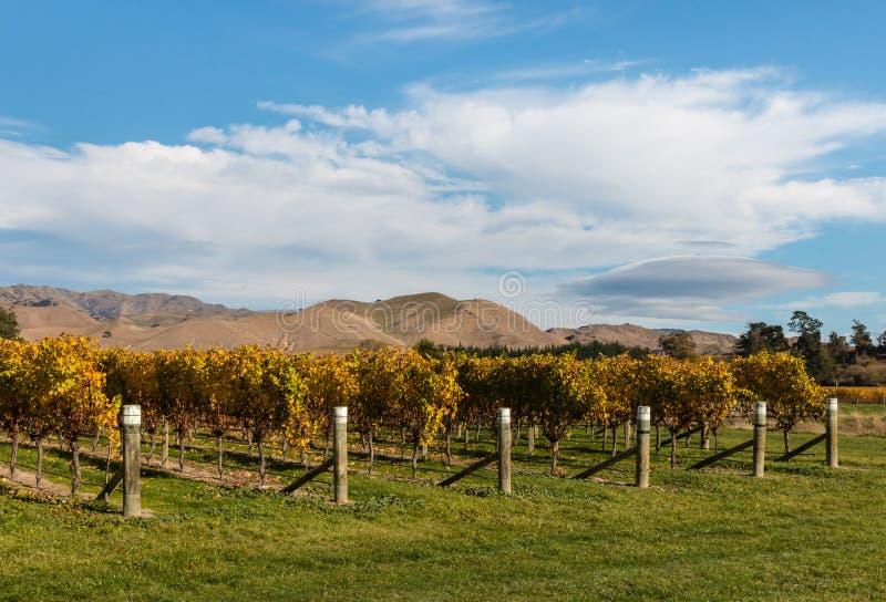 葡萄树行在葡萄园里在秋天 免版税库存图片