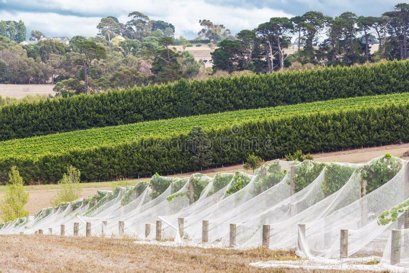 葡萄树行用鸟网盖的 免版税图库摄影