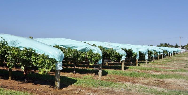 葡萄树行蓝色塑料小海湾的保护的 库存图片