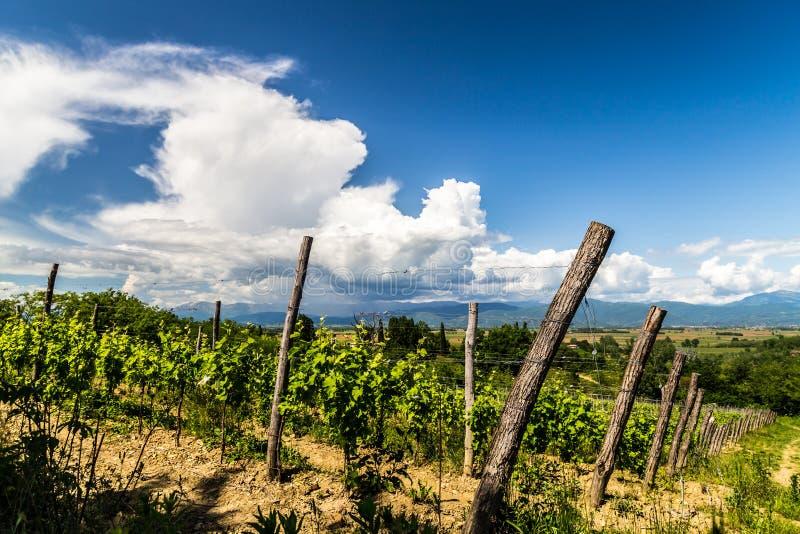 葡萄树领域在意大利乡下 免版税库存图片