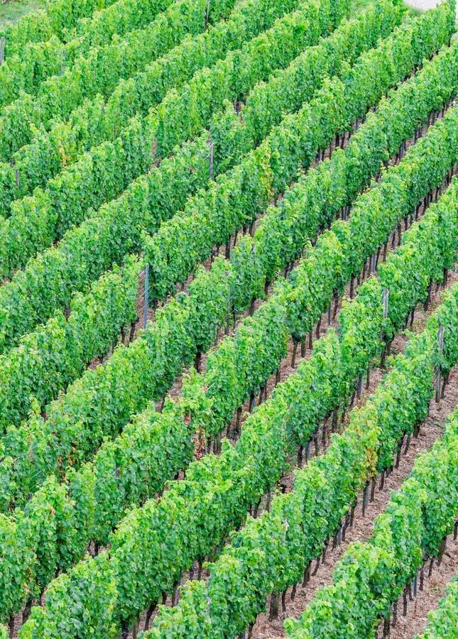 葡萄树鸟瞰图在Rudesheim,德国 库存图片