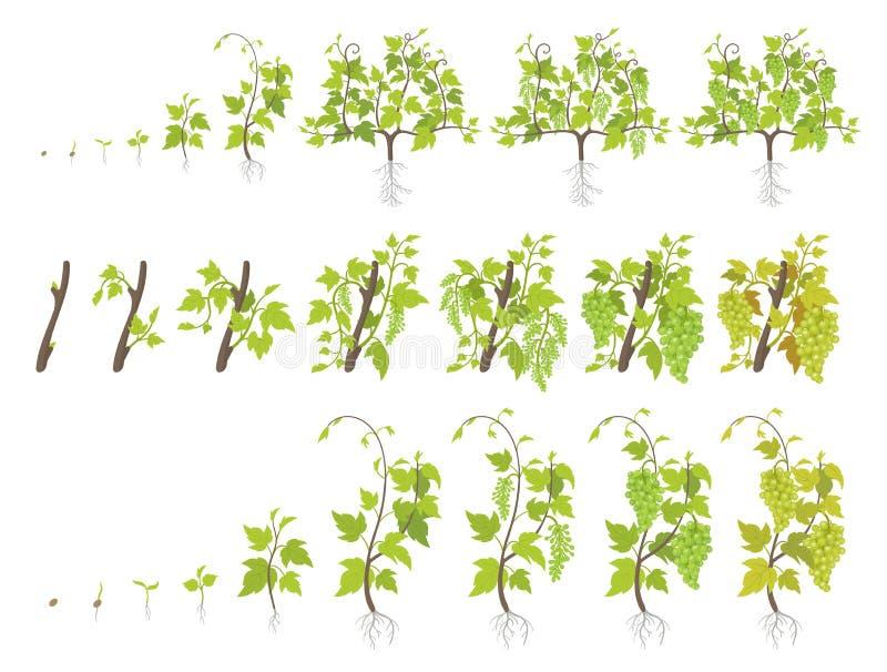 葡萄植物成长阶段  种植增量阶段的葡萄园 r 葡萄收获了 成熟周期 皇族释放例证
