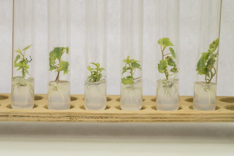 葡萄植物的Micropropagation 库存照片