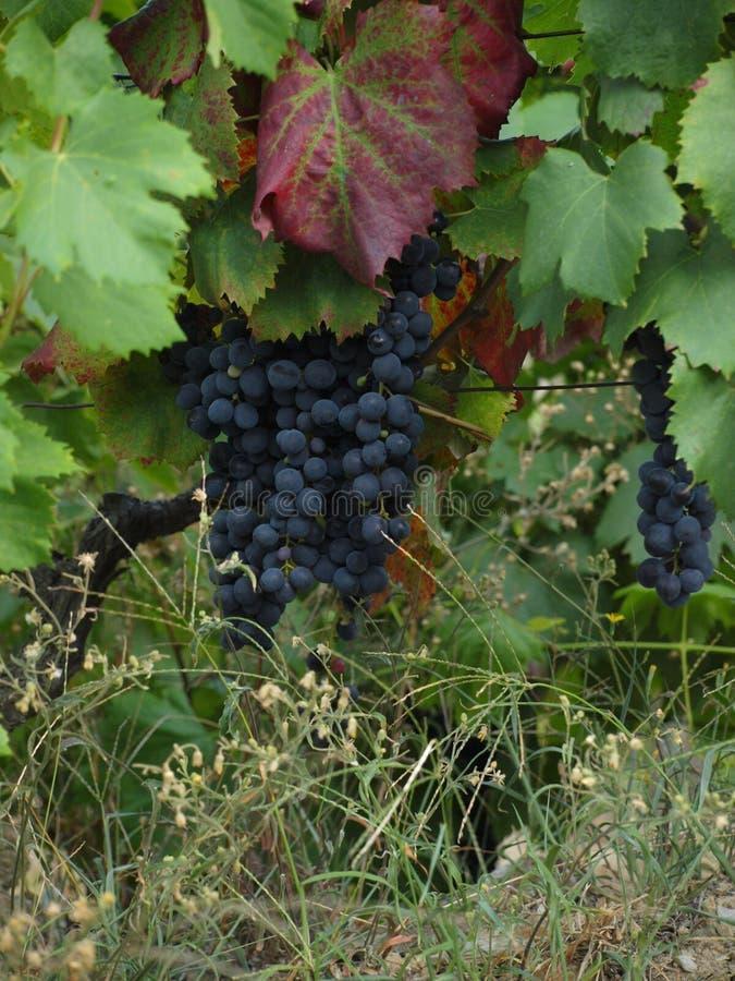 葡萄牙杜罗河谷葡萄园葡萄 库存照片