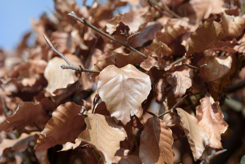葡萄牙棕色月桂树的叶子被转动 免版税库存图片