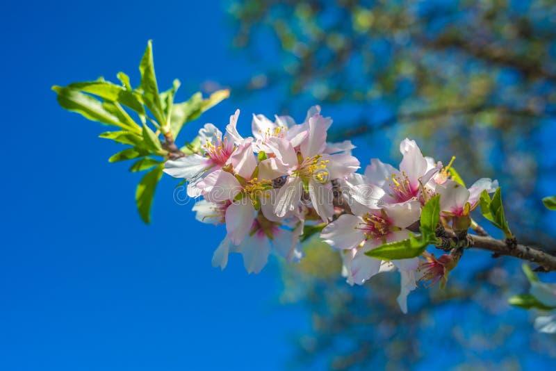 葡萄牙,阿尔加威(欧洲) -杏仁花开花在春天 免版税库存图片